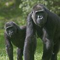 western lowland gorillas in the grass